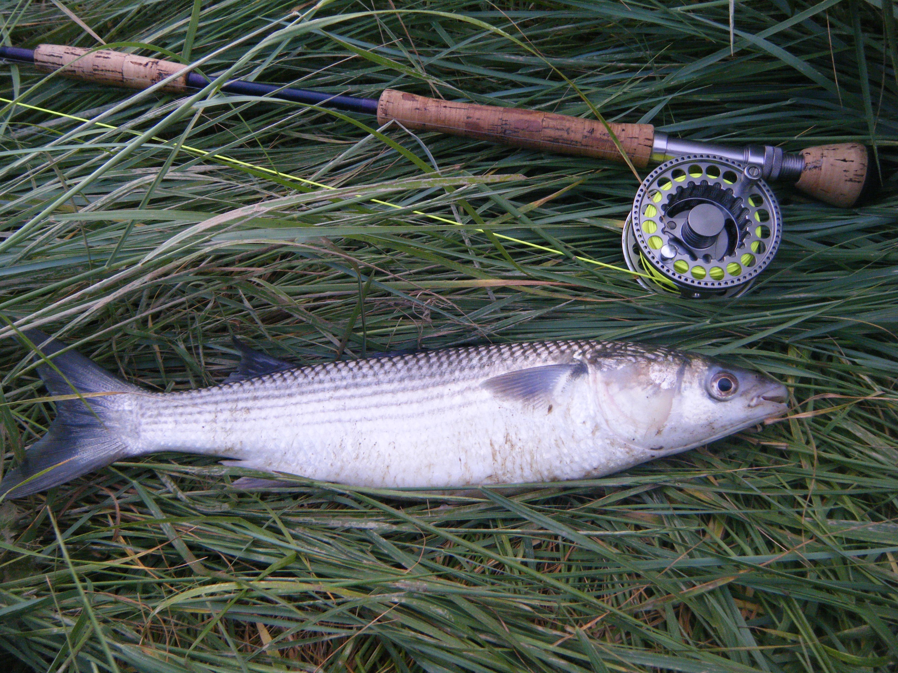 Thin lip mullet tonight on a daiwl bach fly fishing sussex for Pictures of mullet fish